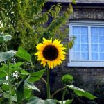 夏のお庭にひまわり畑を!庭に植える重要なタイミングと育て方