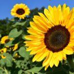 ひまわりの花はなぜ太陽の花と表現されるの!?