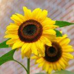 小さくて可愛らしい!!夏の象徴ひまわりを低く育てる方法ご紹介!