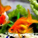 ペットの金魚が死んだらどうするの?金魚の処理と水槽のメンテナンス